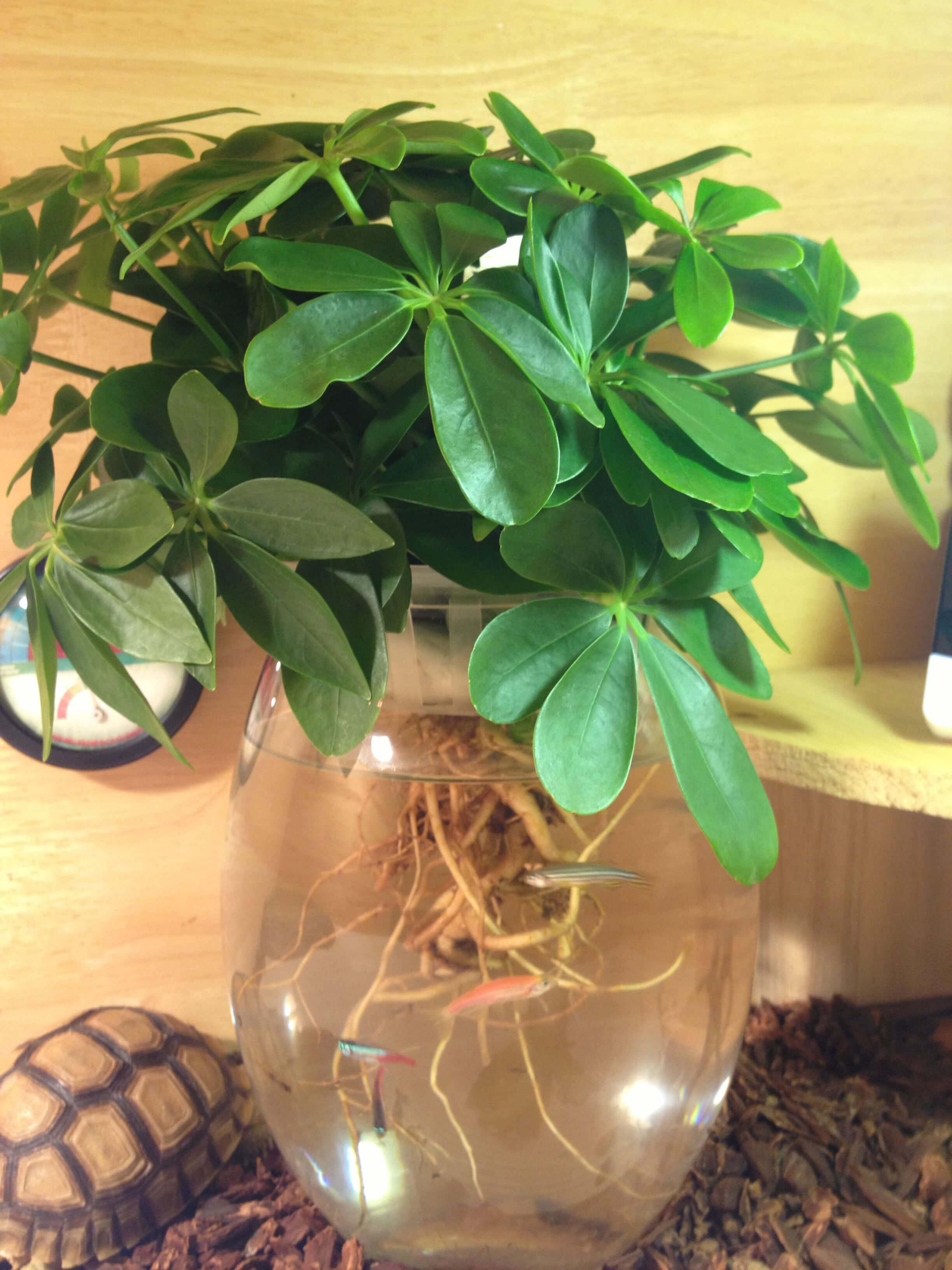 鸭脚木可以水培吗 第5张